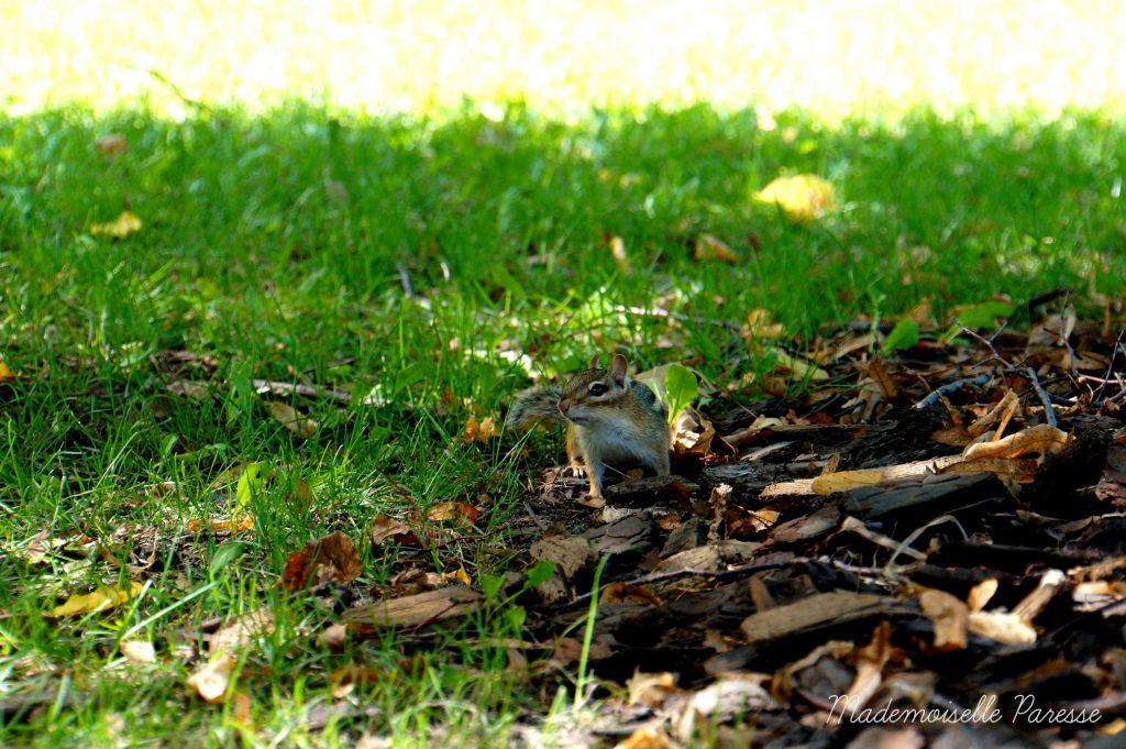 mademoiselle-paresse-ottawa-ecureuil-mignon